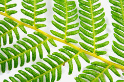 Fern Branch Closeup Stock Image