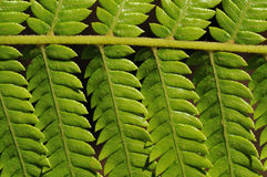 Fern branch Royalty Free Stock Images