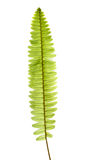 Fern branch isolated on white Stock Image