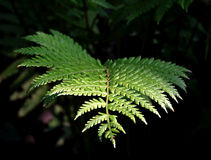 Fern Branch soleggiato Fotografia Stock