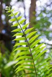 Fern branch Royalty Free Stock Photos