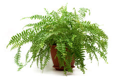 Fern in a brown pot Stock Photos