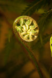 Fern Bud Stock Photos