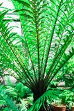 Fern Bush blechnum gibbum. Green leaf background/. Fern Bush blechnum gibbum. Green leaf background Royalty Free Stock Photos
