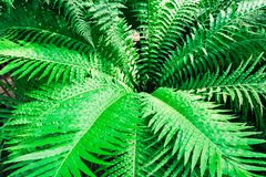 Fern Bush blechnum gibbum. Green leaf background/. Fern Bush blechnum gibbum. Green leaf background Stock Photography