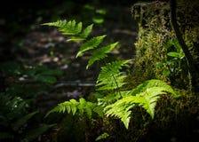 Fern Bush, der im Wald auf einem Stumpf wächst Stockfotos