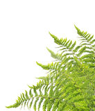 Fern Bush, isolated on white Stock Photo