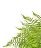 Fern Bush som isoleras på vit Arkivfoto