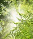 Fern Bush tegen achtergrond van zonlicht, aardachtergrond Stock Foto