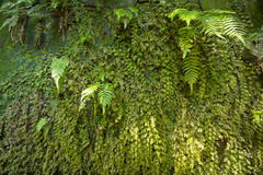 Fern Canyon green walls Stock Image