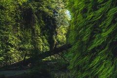 Fern Canyon, la Californie, Etats-Unis Photos libres de droits