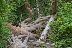 Fern Canyon med den stupade redwoodträdet Royaltyfria Bilder