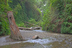 Fern Canyon. In Prairie Creek Redwoods State Park CA with redwood stump Royalty Free Stock Image