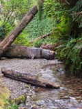 Fern canyon with stream. Vertical walls of canyon covered with ferns with clear stream flowing over stones and logs at Fern Canyon in Redwoods National Park Royalty Free Stock Photos