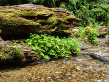 Fern canyon with stream. Vertical walls of canyon covered with ferns with clear stream flowing over stones and logs at Fern Canyon in Redwoods National Park Stock Images