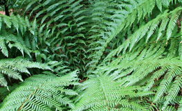 Fern centre Royalty Free Stock Photos