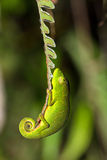 Fern Chameleon Royalty Free Stock Photos