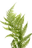 Fern close up Royalty Free Stock Photography