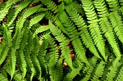Fern Close-up Stock Photography