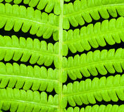 Fern close up Royalty Free Stock Image