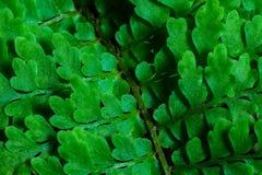 Fern Close-Up Stock Image