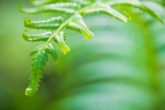 Fern. Close Up of Fern Leaf Stock Photos