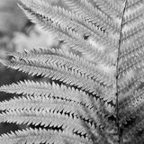 Fern close-up. Leaf details of a fern. The picture is in black and white with high contrast Stock Photo