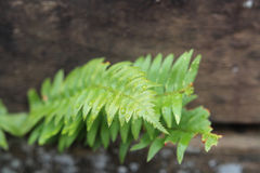 Fern close up photo with rain droplets. Royalty Free Stock Photography
