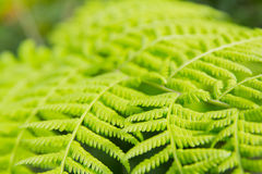 Fern close up Royalty Free Stock Photos