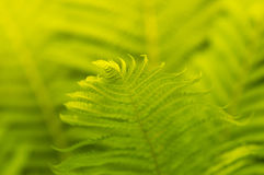 Fern close-up with sunlight. Ferns can be used as a background. Selective Stock Photos