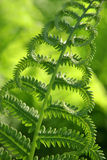 Fern closeup Royalty Free Stock Images