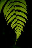 Fern closeup Royalty Free Stock Image