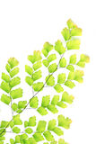 Fern color green on white background Stock Photos