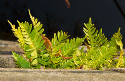 Fern Common polypody growing on an old quay wall. Polypodium vulgare, the Common polypody, growing on an old quay wall. In the background dark water Royalty Free Stock Photography