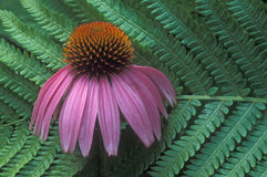 Fern & cone flower. Pink cone flower through fern leaf Royalty Free Stock Photos
