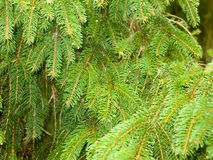 Fern conifer background foliage up close texture Stock Images