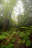 Fern Covered Ground nella foresta Fotografie Stock Libere da Diritti