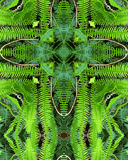 Fern cross. Kaleidoscope cross from photo of ferns in redwood forest, California Royalty Free Stock Photography