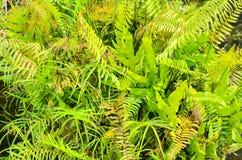 Fern (Cyathea lepifera) Stock Image