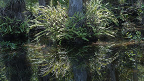 Fern, Cypress Roots, Swamp, Big Cypress National Preserve, Flori Royalty Free Stock Images