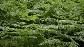 Fern dancing with the air. Lush tropical vegetation. Rainforest pattern stock video footage