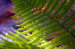 Fern on a dark background. With sunlight Royalty Free Stock Images