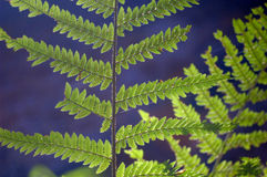 Fern on a dark background Stock Photography