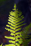 Fern on a dark background. With sunlight Royalty Free Stock Photography
