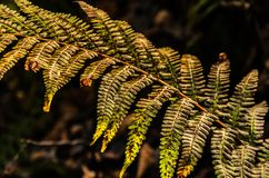 A fern Royalty Free Stock Image