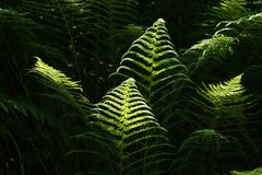 Fern on dark baground Royalty Free Stock Image