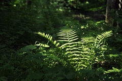 Fern in a dark forest Stock Photos