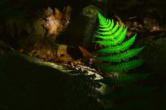Fern, dark. A green fern is lit by natural light Royalty Free Stock Photography