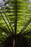 Fern de árvore 02 Fotografia de Stock