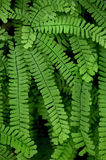 Fern de Maidenhair Imagem de Stock Royalty Free